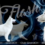 flash-stud dog II